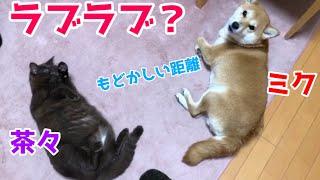 元野良猫の茶々と保護犬ミクのほのぼの動画です