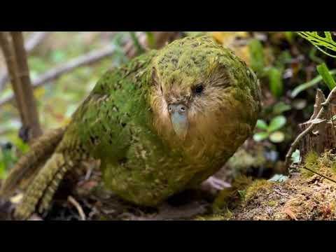 Какапо, или совиный попугай (лат. Strigops habroptila)