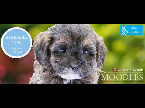 Cute Toy Moodle pups