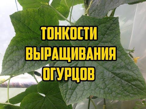 Как правильно выращивать огурцы в открытом грунте видео