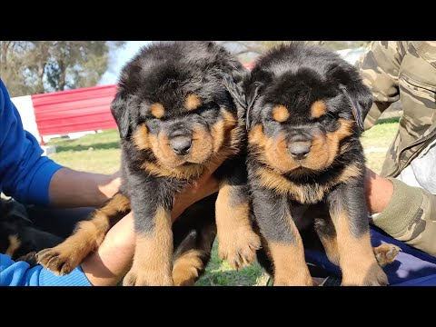 Rottweiler Puppies Available - Son of Brudo - Father and son-7404011155,  9896504757-  Doggyz World