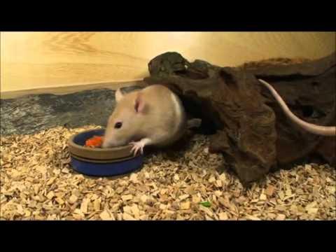 Rat en muis de verzorging