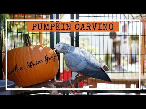 Pumpkin Carving with an African Grey