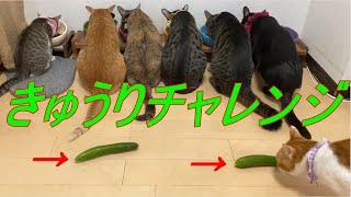 きゅうりをおいてビックリさせたい   I want to surprise you with the cucumbers!