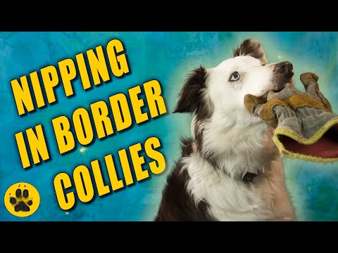 Why Do Border Collies Nip