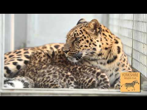 Yorkshire Wildlife Park - Amur Leopard Cubs and Conservation