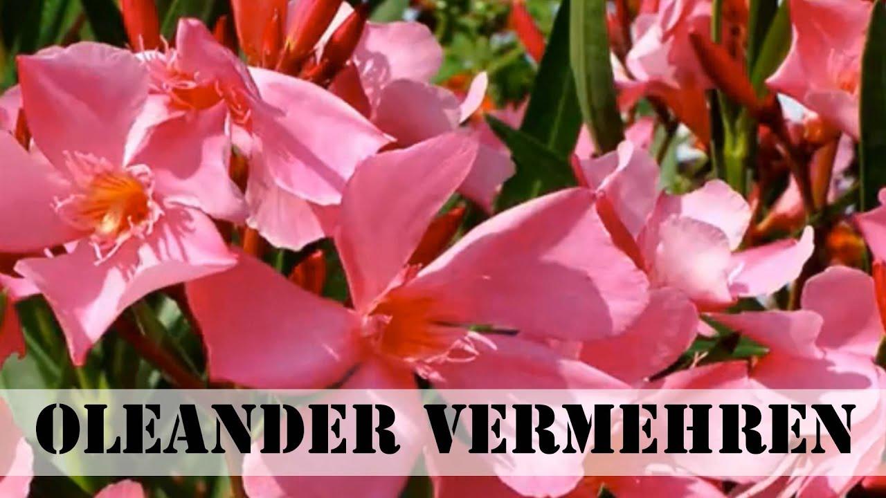 oleander vermehren stecklinge ziehen youtube