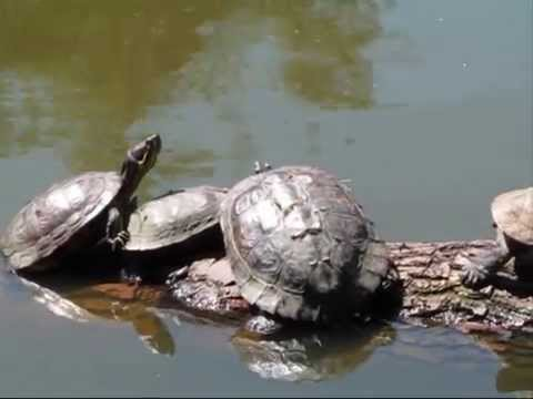 Red-eared Terrapins - Tooting Bec Common, London