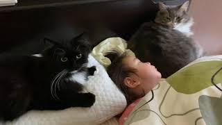 朝から甘えモードの猫 ノルウェージャンフォレストキャット ラガマフィンA cat that I want you to stroke from the morning.