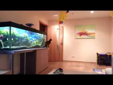 Abyssinian Cat vs Balloon