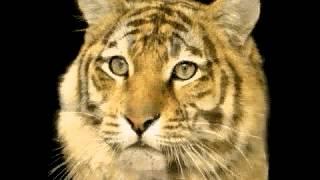 Кот в тигра