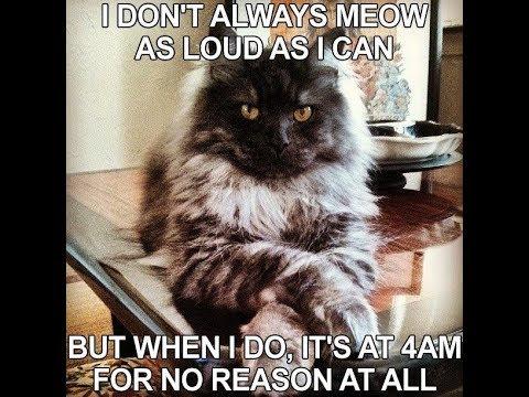 Funny Cat Drinking Meme : Joke march funny kitty cat drinking whisky naughty