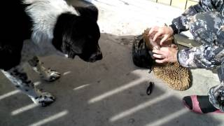 FEEDING OF THE MIDDLEASIAN SHEPHERD DOG with raw beef roe