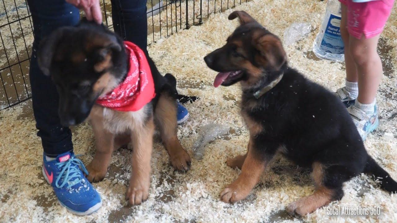Cute Puppies Playing Around German Shepherd Puppies Pet Expo