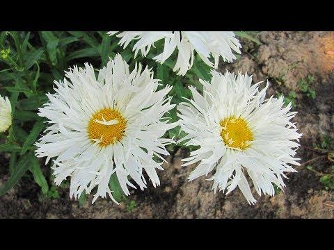 видео: Как разделить садовую ромашку