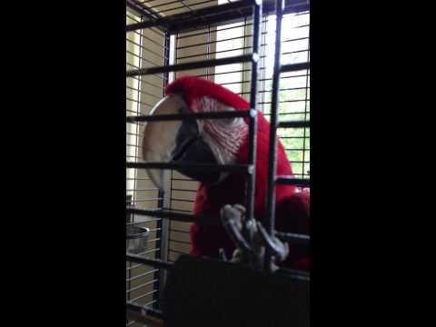 видео: Говорящий попугай Ара Кузя