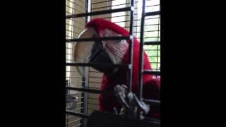 Говорящий попугай Ара Кузя