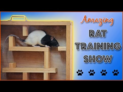 Amazing Rat Training Show!