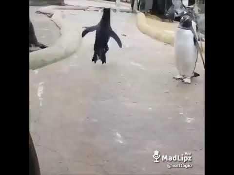 i pinguini hanno un pene