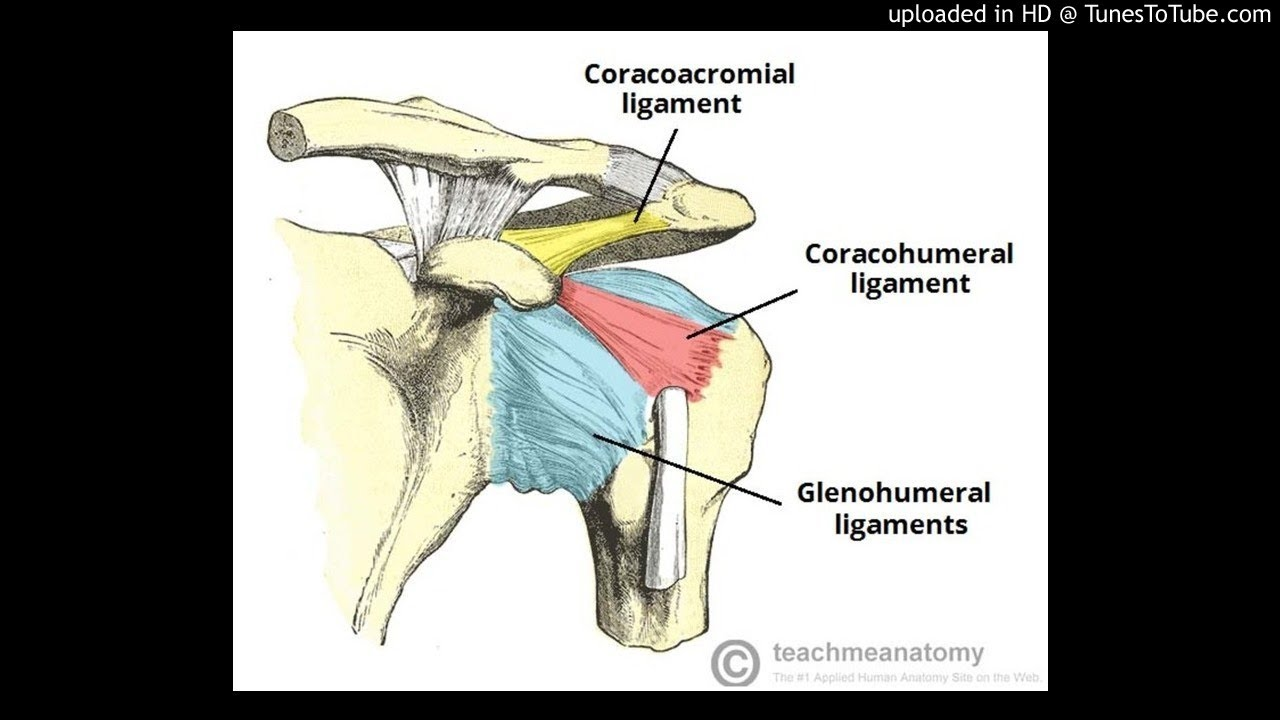 The glenohumeral ligaments (GHLs) : Multiplication anomaly - YouTube