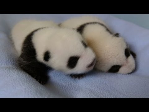 Twin baby pandas now fuzzy and cute
