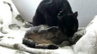 拾った子猫を相変わらず世話するラブは、子猫のお腹も舐めてあげてます。