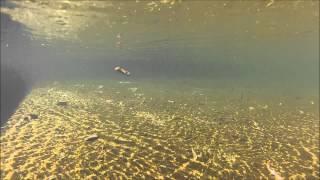 Cubandino con cola de pluma nadando ll HD