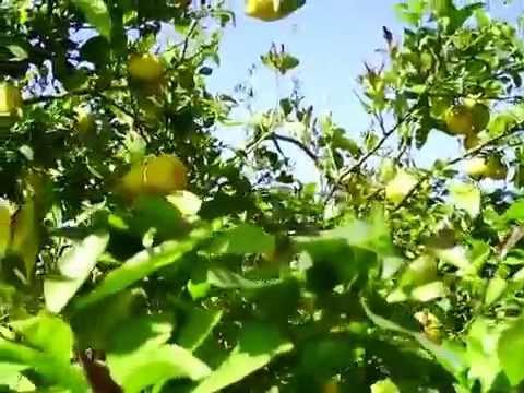 Лимон - Полезные и опасные свойства лимона