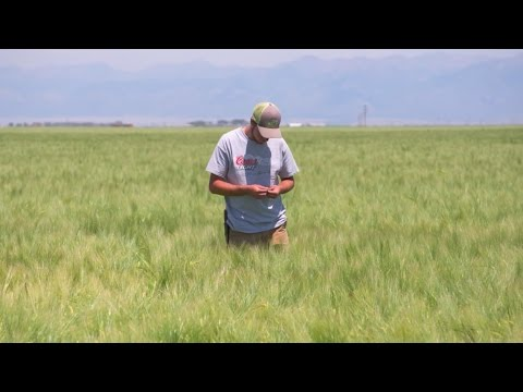 How Coors Farm helps other barley growers