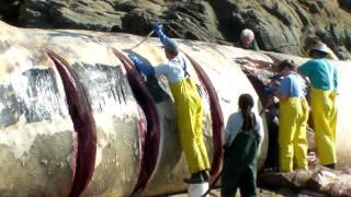 Bean Hollow State beach Blue Whale necropsy 2/5