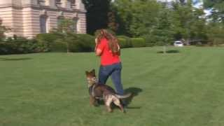 """Best Young Home Raised Personal Protection Dogs For Sale """"iller"""""""