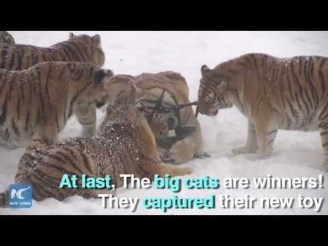 Drone taken down by Siberian tigers in NE China wildlife park