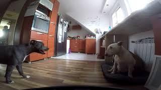 Bulterier protect pitbull  funny