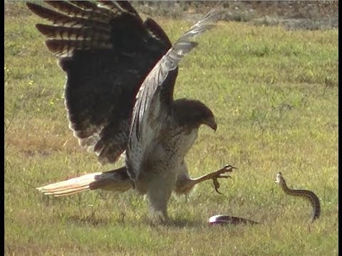 Red Tailed Hawk Vs Snake Youtube