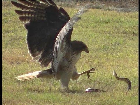 What Do Hawks Eat  Where Do Hawks Live  Birds Flight