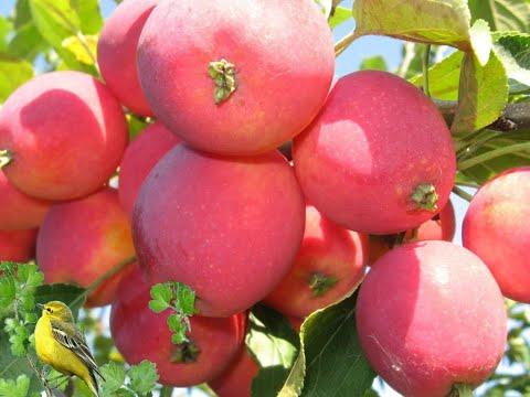Самые лучшие сорта яблок.