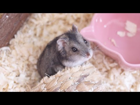CLEANING MY DWARF HAMSTER CAGE  | Malica Hamilton