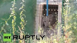 Russia: From Paris with spots! Sochi's new leopard warms up to Russian climates(Russian zoologists hope a male leopard from France will deploy some Gallic charm and help rejuvenate the gene pool of the leopards from Sochi National Park, ..., 2015-07-29T21:34:09.000Z)