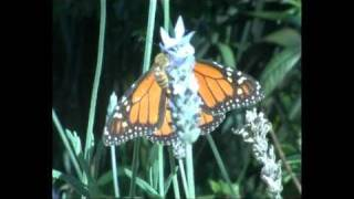 Monarch Butterflies Clustering At Te Omanga Hospice