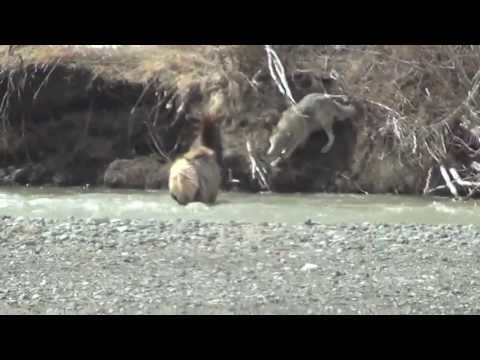 Gray wolf attacks elk in river in Yellowstone National Park, another way wolves change rivers.