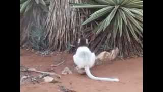 White sifakas (Propithecus verreauxi) from the South-East Madagascar//Белые сифаки (Хохлатые индри)