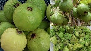 FARM FRESH GUAVA MASALA CHAT | TASTY GUAVA MASALA | STREET FOOD PYARA MASALA