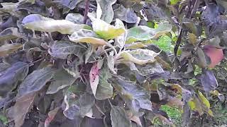 видео Яблоня колонновидная   Валюта