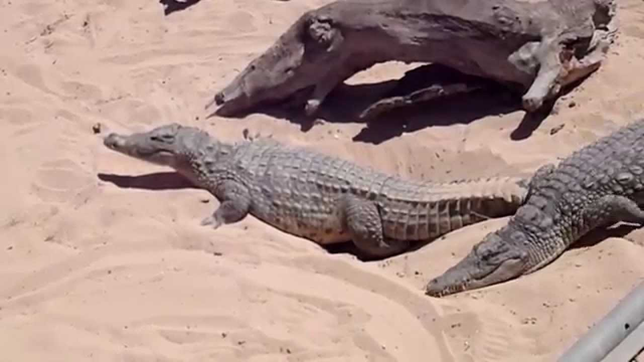 crocodile laying eggs long edition - YouTube