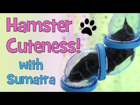 Hamster Cuteness! (with Sumatra)