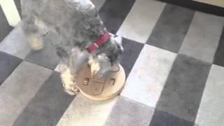 Mini Schnauzer Using Her Brain.