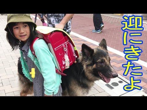GermanShepherdシェパード犬・学校に迎に来たよ♪  I came to the school