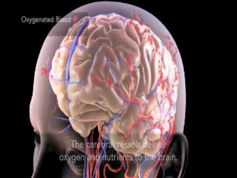 Cerebral Circulation Youtube
