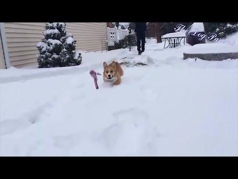 Corgis Compilation - Funny cute dog fails and silly moments of Corgis
