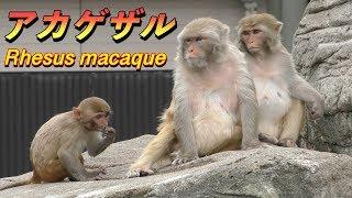 【サル】アカゲザルの生態〜知ってほしい実験動物として犠牲になった神聖なサルの存在〜(Rhesus macaque)